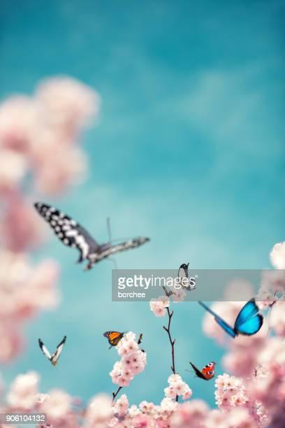 kleurrijke vlinders op kersenboom - vlinder stockfoto's en -beelden
