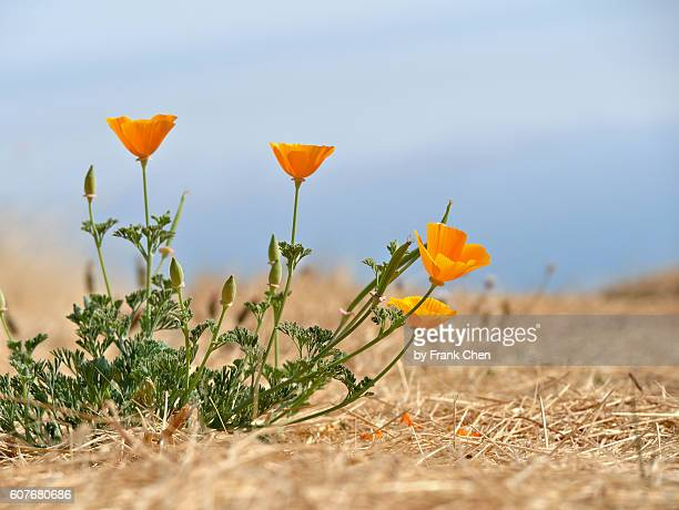 colorful california poppy flowers in a dry landscape - california golden poppy stock pictures, royalty-free photos & images