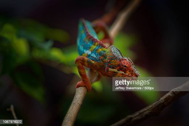 colorful chameleon on branch - east african chameleon stock pictures, royalty-free photos & images