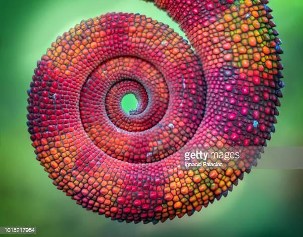 colorful chameleon tail, reserve peyrieras, madagascar - macro animal photos et images de collection