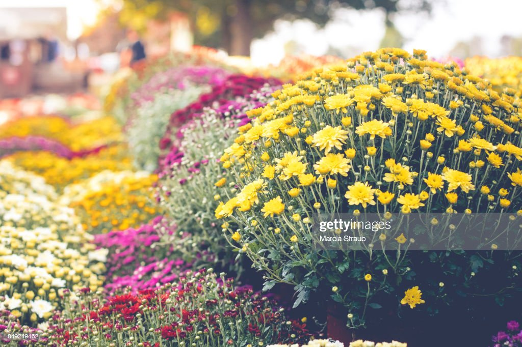 Colorful Chrysanthemums in Autumn : Stock-Foto