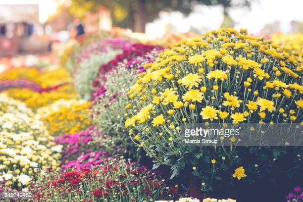 colorful chrysanthemums in autumn - chrysanthemum imagens e fotografias de stock