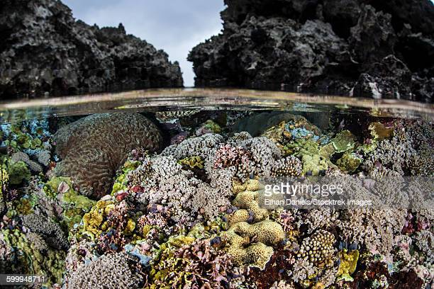 a colorful coral reef grows in shallow water in the solomon islands. - brain coral foto e immagini stock