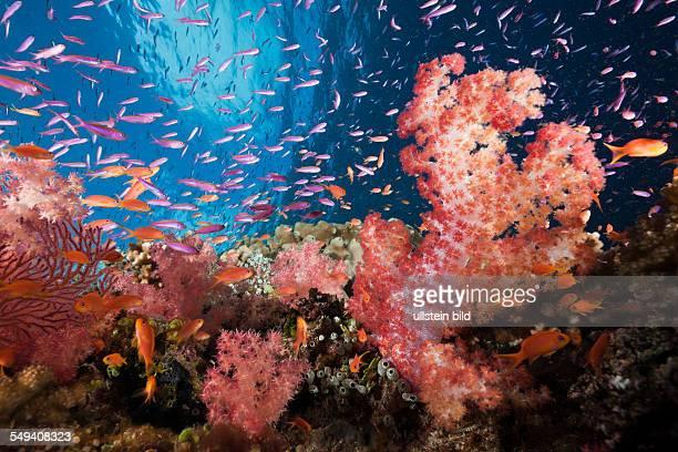 Colorful Coral Reef Namena Marine Reserve Fiji