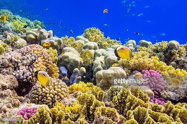 colorful coral reef on red sea nearby marsa alam - reef stock pictures, royalty-free photos & images