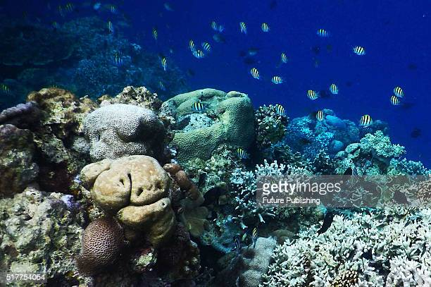 Colorful coral reef seen at Wakatobi Dive Resort Indian Ocean on March 27 2016 in Sulawesi Indonesia According to the Wallacea Research Wakatobi is...