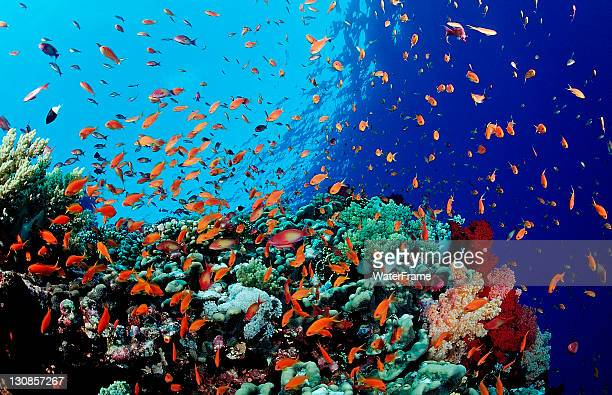colorful coral reef with lyretail coralfish or goldfish (pseudanthias squamipinnis), safaga, red sea, egypt - 熱帯魚 ストックフォトと画像