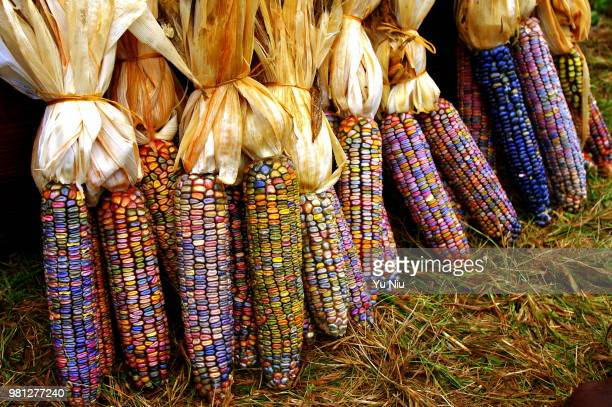 colorful corns - indian corn stock photos and pictures