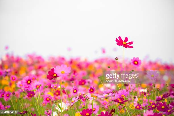 Colorful cosmos flower field