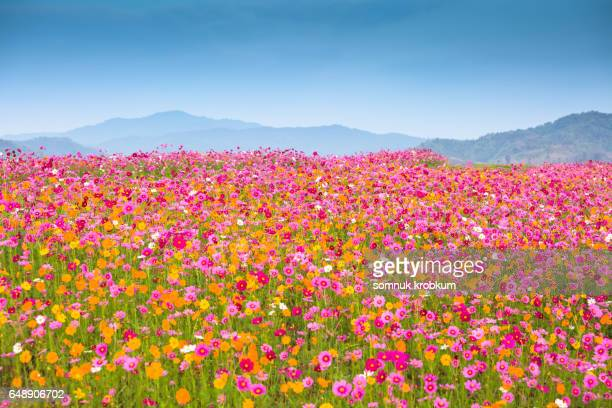 colorful cosmos flower hill - cosmos flower stock pictures, royalty-free photos & images