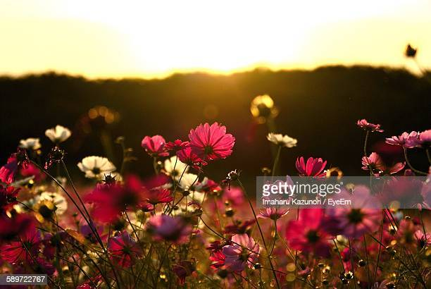 Colorful Cosmos Flowers Blooming On Field