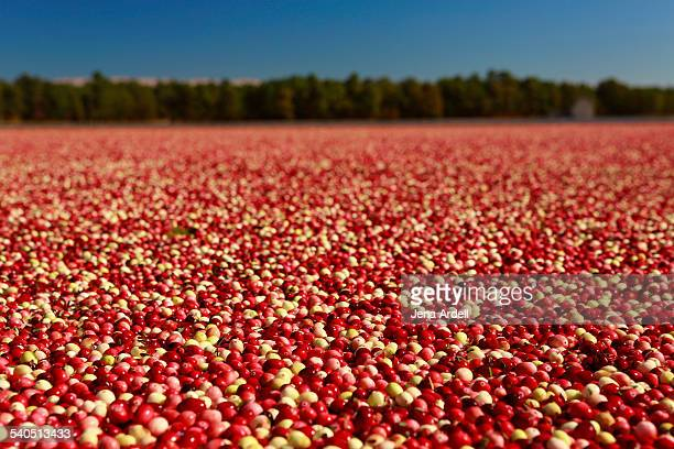 colorful cranberry bog during cranberry harvest - cranberry harvest stock pictures, royalty-free photos & images