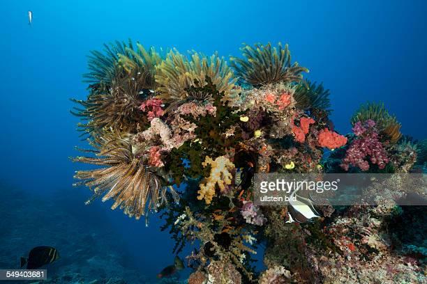 Colorful Crinoids in Coral Reef, Namena Marine Reserve, Fiji