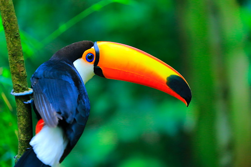 Colorful cute Toucan tropical bird, Brazilian Amazon – blurred green background 495292808