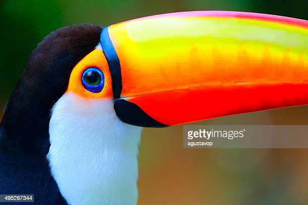 colorful cute toucan tropical bird in brazilian pantanal – blurred background - toucan stock photos and pictures