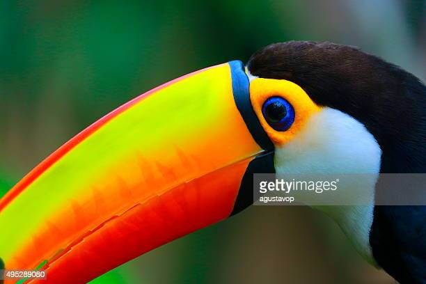 colorful cute toucan tropical bird in brazilian pantanal – blurred background - pantanal wetlands stock photos and pictures