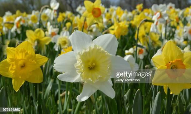 Colorful daffodil field, London, Ontario, Canada