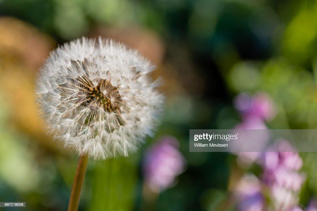 Colorful Dandelion 'Clock' : Stockfoto