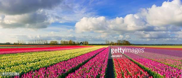 Kleurrijke Nederlandse tulpenvelden