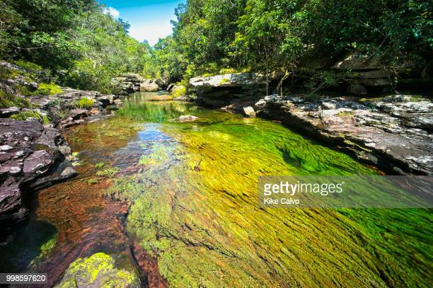 Colorful endemic freshwater plants known as macarenia clavigera create colorful natural tapestries at Cristales Selva in Cano Cristales river,...
