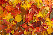 Colorful fall leaves as background. Autumn composition.  Flat lay, top view, copy space.