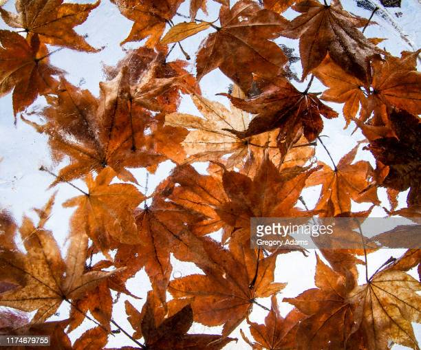 colorful fall leaves frozen in ice - montgomery county pennsylvania stock pictures, royalty-free photos & images