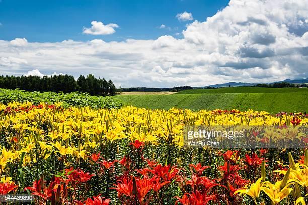 Colorful flower field at Hokkaido, Japan