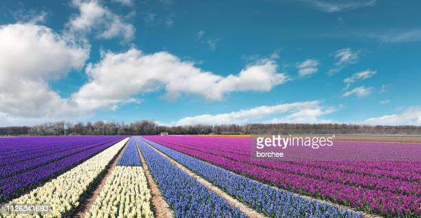colorful flower field - hyacinth stock pictures, royalty-free photos & images