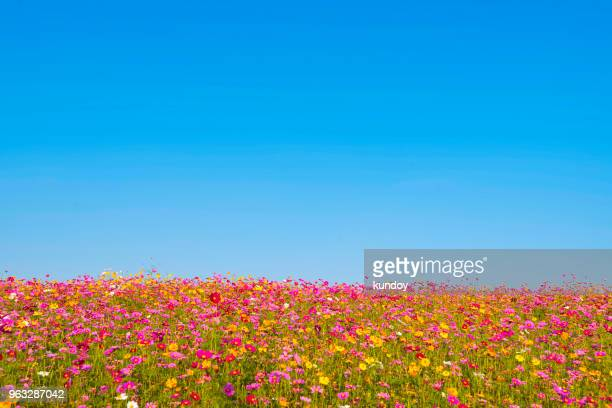 colorful flower field with blue sky background. natural, travel, environment background concept. - 田畑 ストックフォトと画像