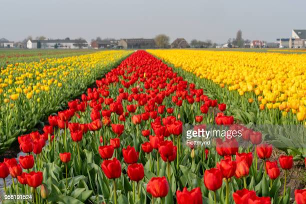 Colorful flower fields in the Netherlands