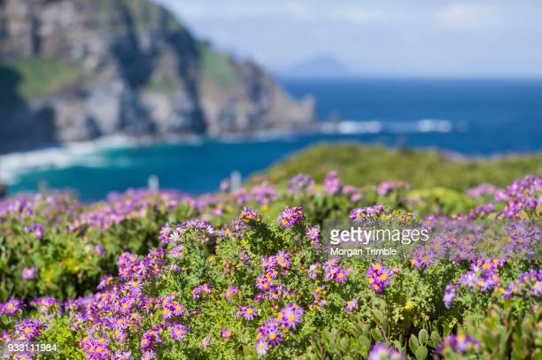 colorful flowers blooming at cape point, table mountain national park, cape town, western cape province, south africa - fynbos fotografías e imágenes de stock