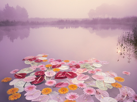 Colorful flowers floating in lake at misty dawn - gettyimageskorea