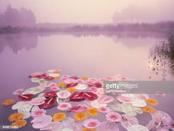 colorful flowers floating in lake at misty dawn - spirituality stockfoto's en -beelden