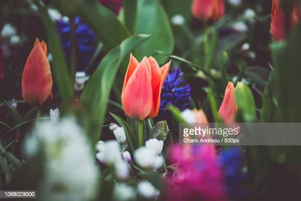 colorful flowers in garden - keukenhof gardens stockfoto's en -beelden