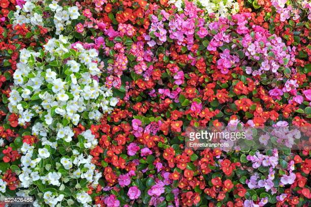 colorful flowers planted on hess andras street in budapest. - emreturanphoto stock pictures, royalty-free photos & images
