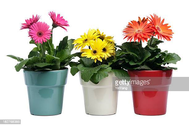 colorful gerbera daisies, potted plants in pottery on white background - gerbera daisy stock pictures, royalty-free photos & images