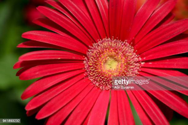 Colorful Gerbera flower or daisy standing in the greenhouse farm