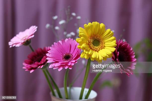 Colorful Gerbera