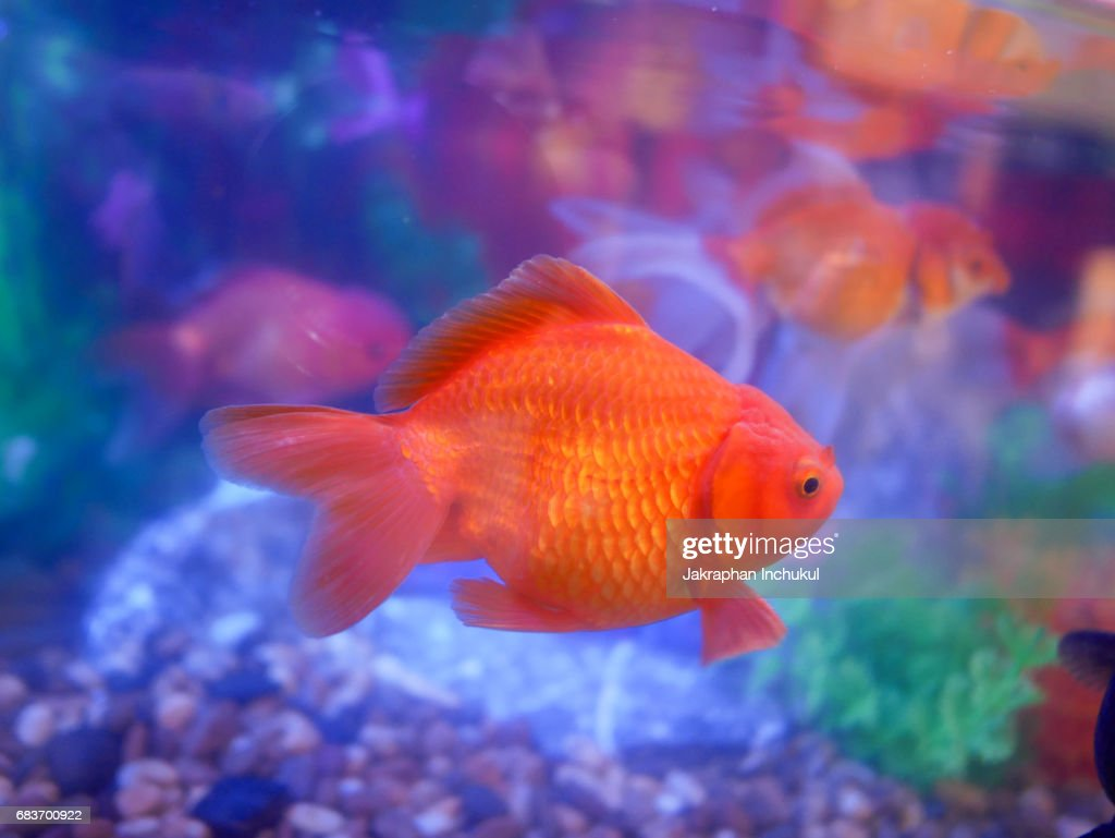 Colorful Goldfish Stock Photo | Getty Images