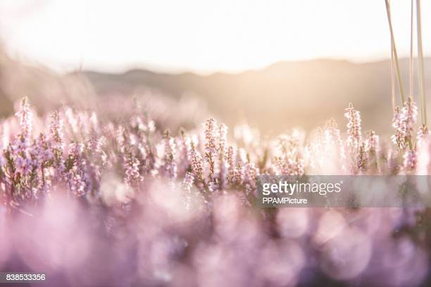 colorful heather at sunset - tranquil scene stock pictures, royalty-free photos & images