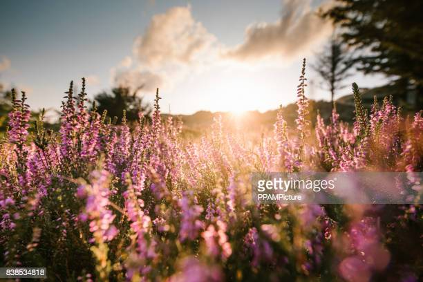 colorful heather at sunset - heather stock photos and pictures