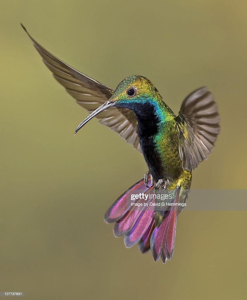 Colorful Humming bird : Stock-Foto