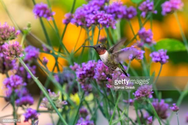Colorful Hummingbird In the Garden