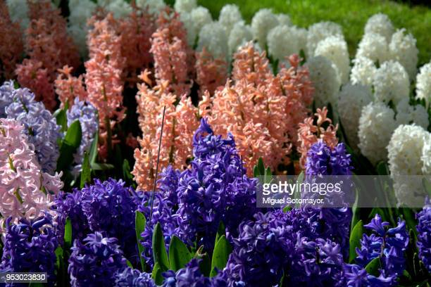 colorful hyacinth - hyacinth stock pictures, royalty-free photos & images