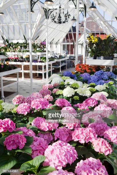 Colorful hydrangea in greenhouse
