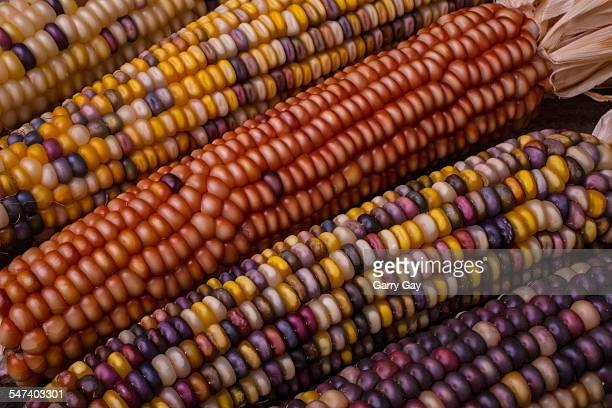 colorful indian corn - indian corn stock photos and pictures