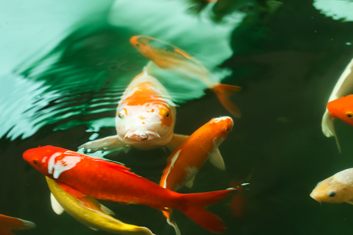 Colorful koi fish feeding 1037916060