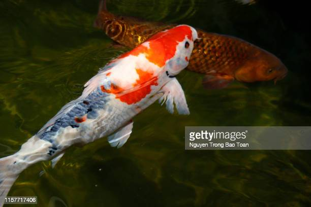 41 Koi Drawing Photos And Premium High Res Pictures Getty Images