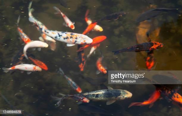 colorful koi in a pond in a city park - timothy hearsum bildbanksfoton och bilder