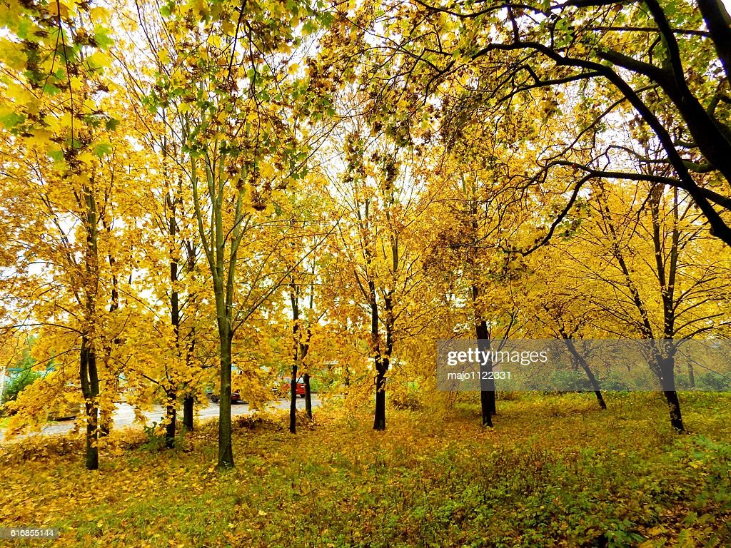 Colorful leaves on deciduous trees in park during autumn : Stock Photo